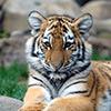 Sitting Tiger Jigsaw Puzzle