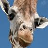 Puzzles Giraffe