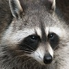 Puzzles with Raccoons